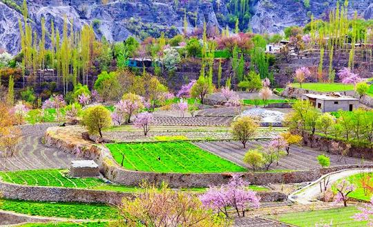 nagar valleyl blossom tour gilgit balitstan