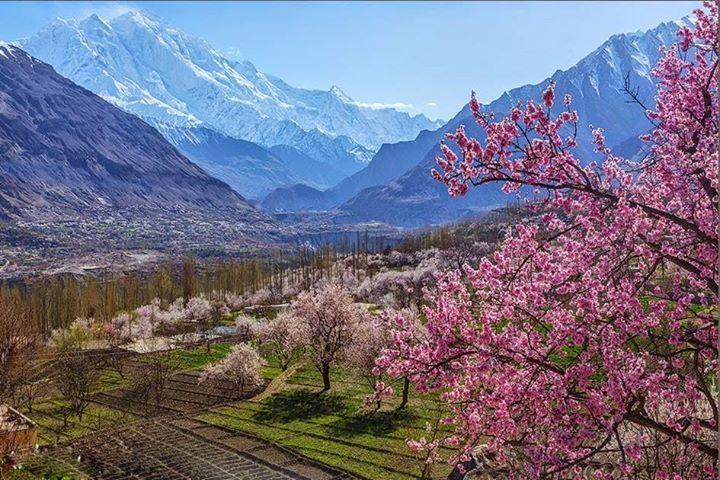 Hunza Blossom